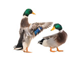 two male brown duck isolated - 241595479