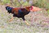 free range hens portrait