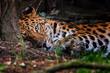 Leinwanddruck Bild - Panthera pardus orientali