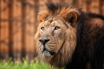 Lion king of animal