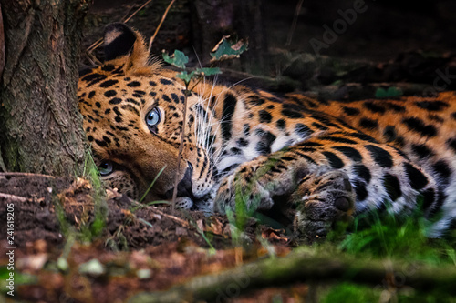 Leinwanddruck Bild Panthera pardus orientali