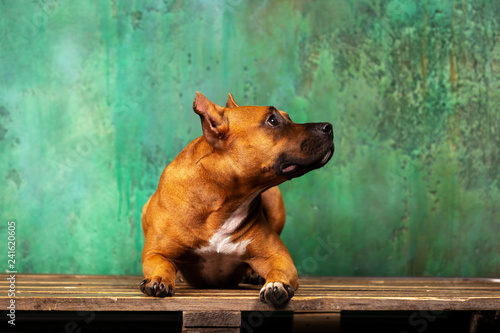 obraz lub plakat Adorable red dog downs at textured background