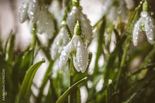Leinwandbild Motiv snowdrop flowers