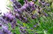 Leinwanddruck Bild - Lavendel mit Lavendelblüten im Garten