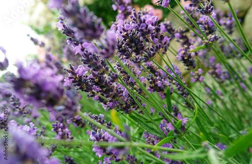 Leinwanddruck Bild Lavendel mit Lavendelblüten im Garten