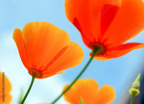 Orange flowers on background of blue sky, low point of view