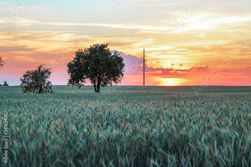 Foto Murales Beautiful unusual landscape of a lonely tree in the middle of a field with spikelets during sunset