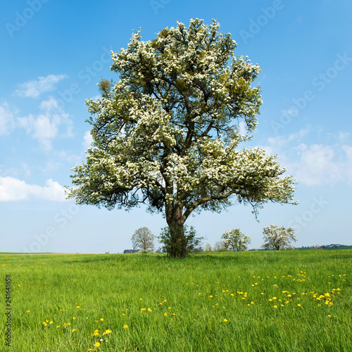 Frühling, Landschaft, Obstbaum - 241641658