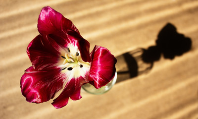 Red blooming tulip. Tulip flower in a glass with clear water on wood background and dramatic shadow.