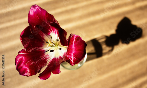 Red blooming tulip. Tulip flower in a glass with clear water on wood background and dramatic shadow. - 241649208