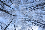 Winter forest, view from below. Leafless winter trees with snow on branches