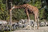 Giraffe - Giraffa camelopardalis - 241671024