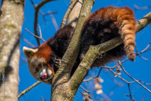 Roter Panda - Ailurus fulgens