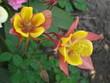 Orlik ogrodowy z żółtym środkiem w pełnym rozkwicie na domowej rabacie, płatki są z tyłu ostro zakończone