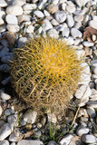 Large spherical cactus on the background of stones. - 241687283