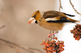 Hawfinch (Coccothraustes coccothraustes) on the mountain ash - 241689266