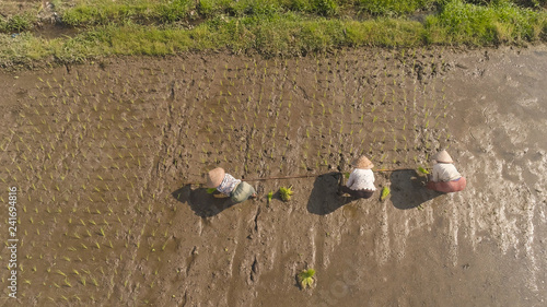 women farmers planting rice while standing in water. aerial view asian female farmer planting rice in field java, indonesia
