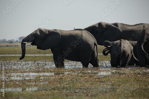 Elephants drinking on an Okavango river floodplain in Africa