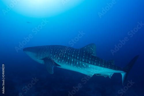 obraz PCV Whale Shark