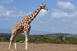 Giraffe in Kenia  - 241717265
