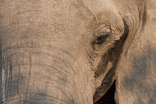 Detail of an elephant - spot on the eye.