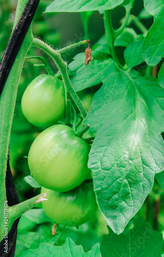 natural, organic green tomatoes on a branch - 241719676