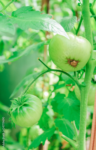 mata magnetyczna natural, organic green tomatoes on a branch