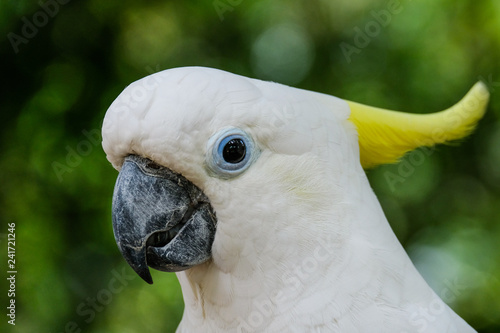 Portrait in profile of an white and yellow Kakadoo in front of green blurry background