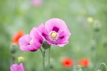 """Постер, картина, фотообои """"Field with purple Poppies. """""""