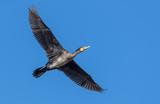 Cormorant in flight - 241728299