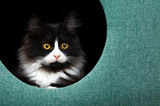 Pet animal; cute cat indoor. Cute kitten cat. - 241729486