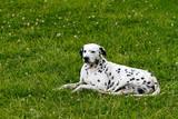 Dalmatian dog pet in the garden