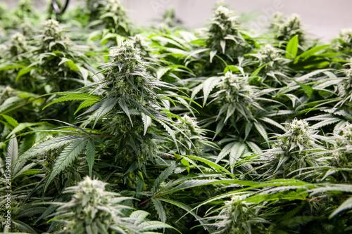 Foto Murales Indoor marijuana grow