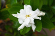 Gardenia jasminoides or cape jasmine white flower with green foliage