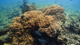 coral reef and tropical fish. underwater world diving and snorkeling on coral reef. Hard and soft corals underwater landscape