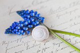 muscari flower still life with snail shell on old letter - 241765642