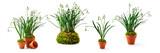 Snowdrop galanthus spring flowers set.