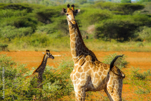 Giraffe leads baby in South Africa