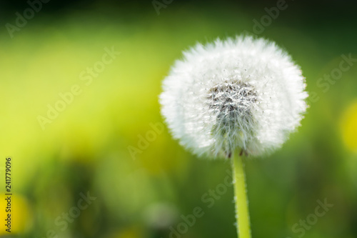 Close up picture of a single dandelion flower, macro, shallow depth of field, selective focus - 241779096
