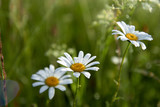 White daisy flowers on blurred green grass background..
