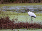 A long legged Wood Stork stands near the edge of  pond in a wetlands area in Central Florida - 241796496