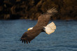 American Bald Eagle in Homer Alaska, USA