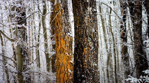 Two Trees Covered in Orange Lichen in a Frost Covered Forest