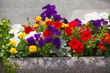 "Постер, картина, фотообои ""Flowerbed with petunias"""
