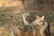 Leinwanddruck Bild - Golden jackal Pair during evening time