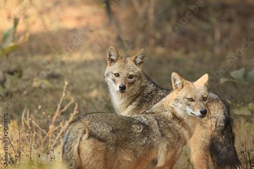 Leinwanddruck Bild Golden jackal Pair during evening time