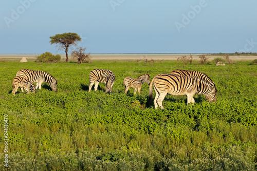 Plains zebras (Equus burchelli) feeding on the plains of Etosha National Park, Namibia.