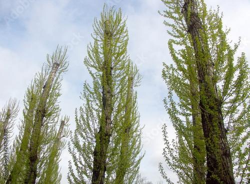 birch grove - 241816498