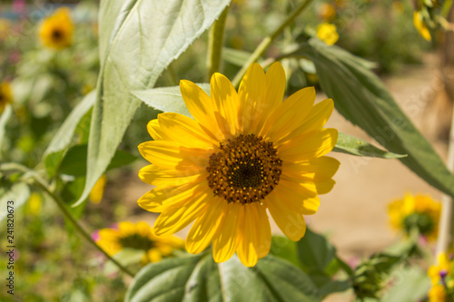 small yellow sunflower on a green branch on a blurred background