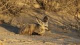 A bat-eared fox (Otocyon megalotis) in natural habitat, Kalahari desert, South Africa - 241823298